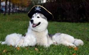 养阿拉斯加雪橇犬禁忌